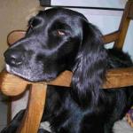Die Hündin Sally, die im Alter von 4 Monaten von Ibiza über den Tierschutzverein Odenwald nach Deutschland gekommen ist. Inzwischen ist Sally 6 Jahre alt und ein fester Bestandteil der Familie Damen aus Aschaffenburg.